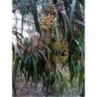 Eucalyptus_citriodora
