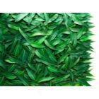 Eucalyptus_radiata