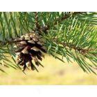 Erdeifenyő (Pinus Sylvestris) BIO 10 ml (10)