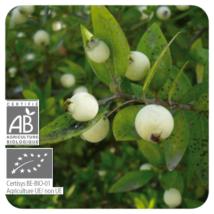 Mirtusz CT Cineol (Myrtus communis ct. cineol) 5 ml (121)