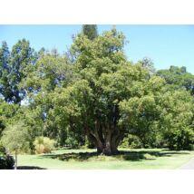 Ravintsara - Cinnamomum camphora - ct cinéole (10 ml) (38)