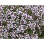 Kép 2/2 - Kakukkfű (Thymus vulgaris ct. Thuyanol) (31)