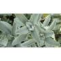 Kép 2/3 - Orvosi zsálya (Salvia officinalis) illóolaj  (47)