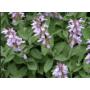 Kép 3/3 - Orvosi zsálya (Salvia officinalis) illóolaj  (47)