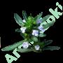 Kép 3/3 - borsikafű, hegyi pereszlény, csombor